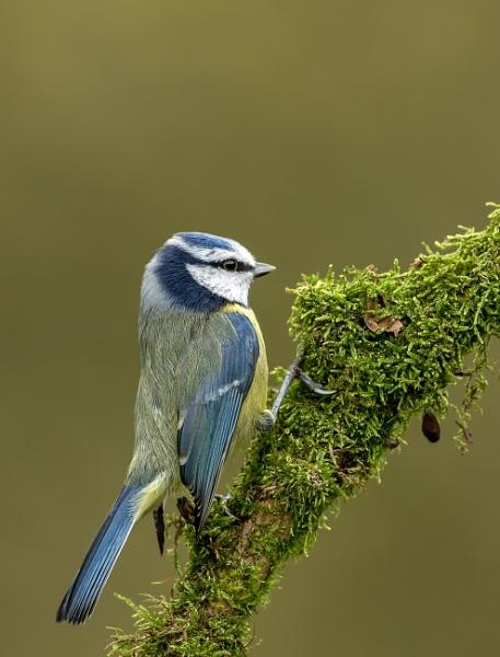 Blue Tit (Parus caeruleus) by Ray_Seagrove