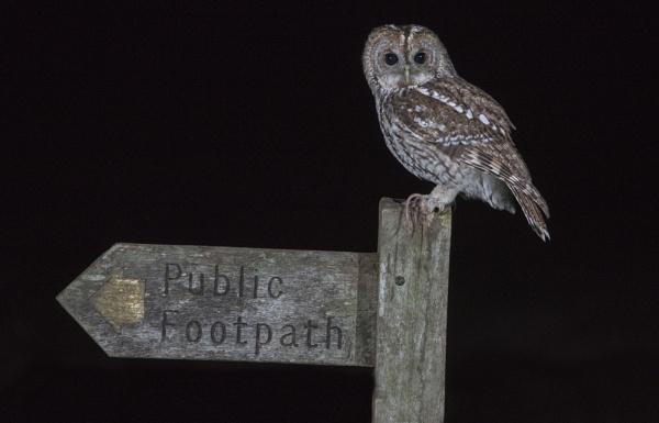 Tawney Owl. by Gavin_Duxbury