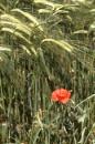 Single poppy by dudler