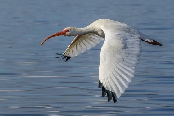 White Ibis by jbsaladino