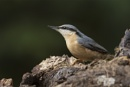 Nuthatch by philhomer