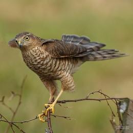Sparrowhawk 2016
