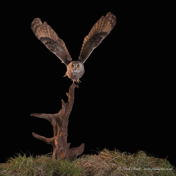 Long-Eared Owl by pdsdigital