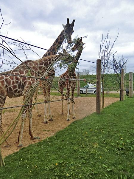 Giraffes by Gypsyman