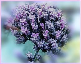 verbena flower, frosty morning