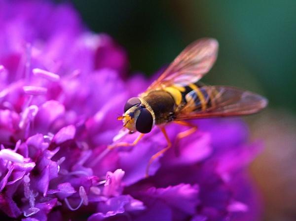 Hoverfly macro by georgiepoolie