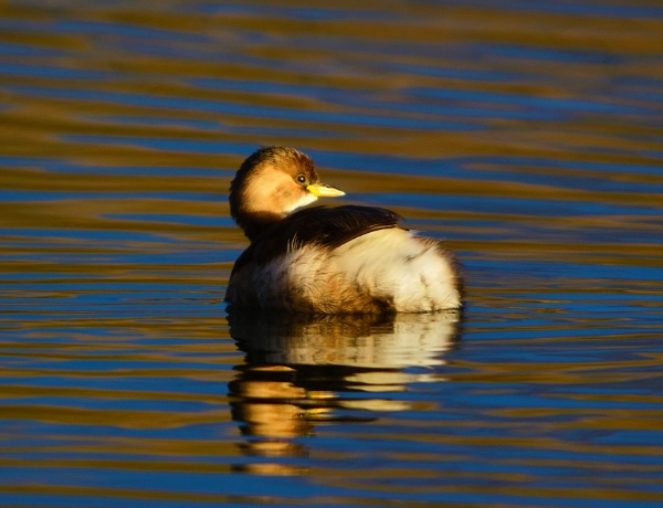 Little Grebe in evening light by movingmountain