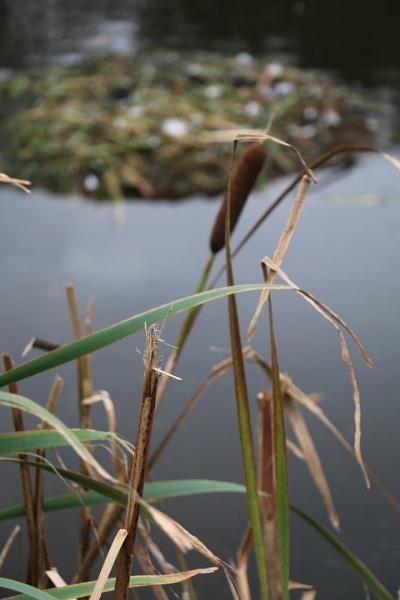 Reeds by gunner44