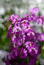 Fairy primroses by ColleenA