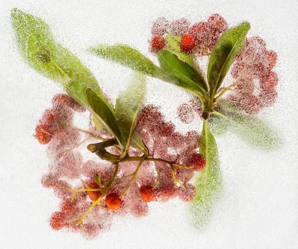 Ice Berries by flowerpower59