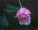 Heritage Rose by taggart
