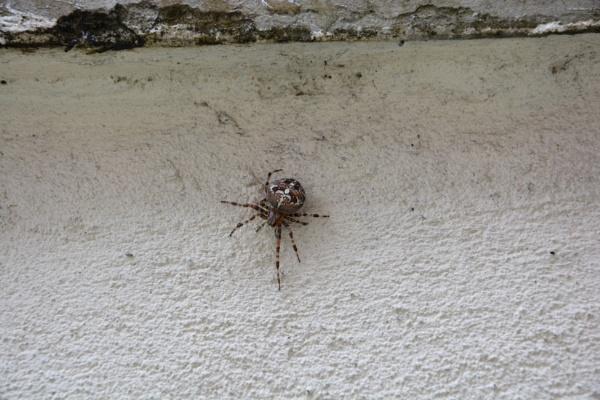 Common garden spider by jimbob133
