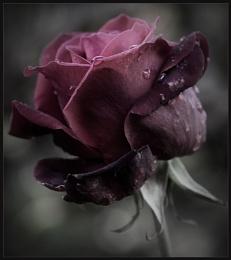 Raindrop Rose
