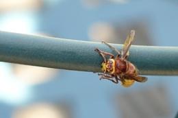 Harry hornet