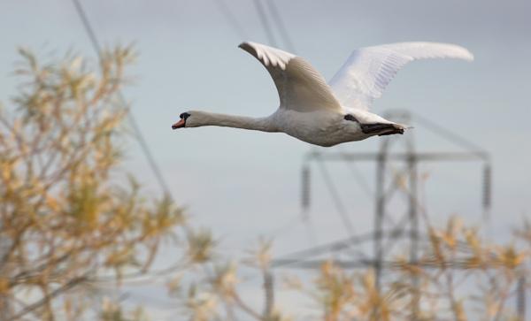 Swan at Handsacre by SocksAndStuff
