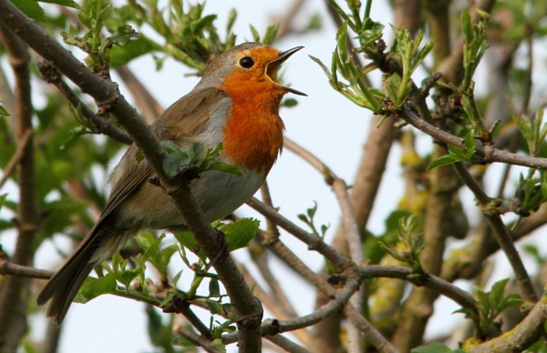 Singing Robin by PhotoG973
