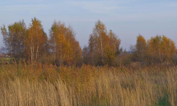 Autumnal Series - Birch Trees by PentaxBro