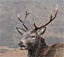 Red Deer Stag 2 by MalcolmM