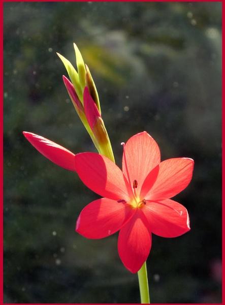 Kaffir Lily by Rock