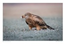 Red Kite with Kill by running_man