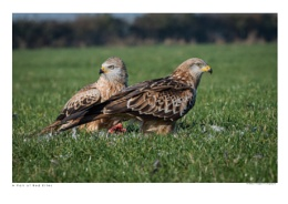 A Pair of Red Kites