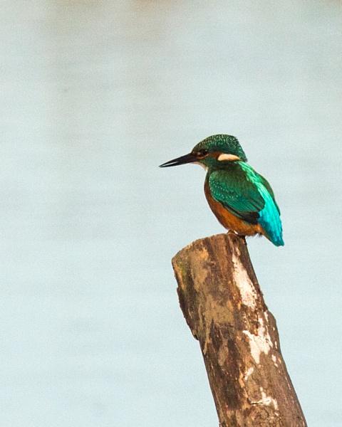 Kingfisher by oldgreyheron