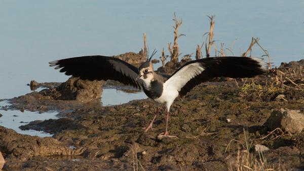 Lapwing landing by oldgreyheron