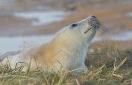 new grey seal pup