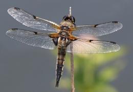 4 spot chaser dragonfly