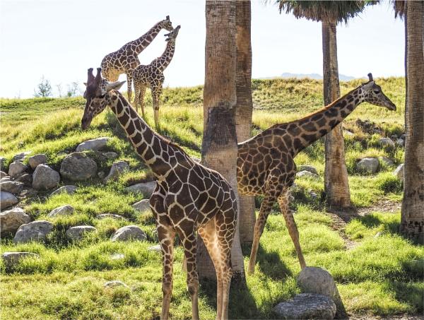 Giraffes by Daisymaye