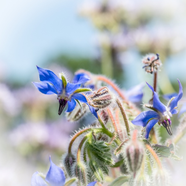 Borage by HelenHiggs