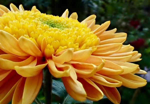 Chrysanthemum by nclark