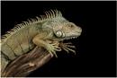 Common Iguana by Lillian