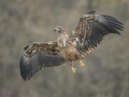 Hanging 8 - Juvenile White-tailed Eagle