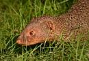 Mongoose by Shibram