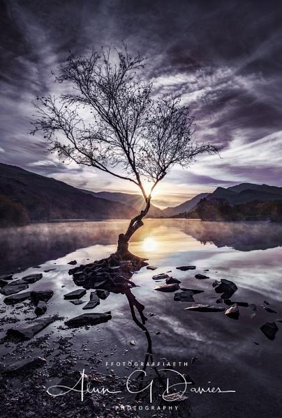 Coeden Unig Llyn Padarn by Tynnwrlluniau