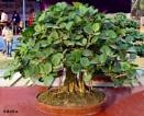 Bonsai Banyan tree by debu
