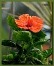 Orange hibiscus by debu