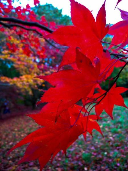 Acer Leaves, Bodnant. by Drighlynne