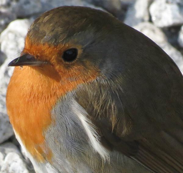 Portrait of a robin.
