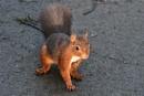 Red Squirrel by ANNDORASBOX
