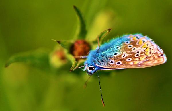 Common blue by georgiepoolie
