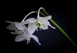Amazon Lily.