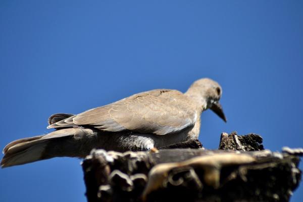 Balkan gerla on the nest by Laslo