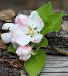Apple  Blossom?
