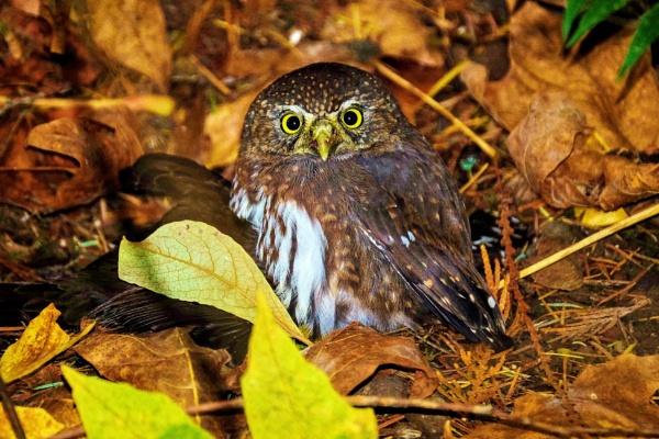 Pygmy Owl by Houba