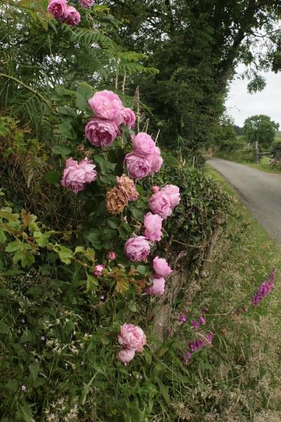 Wild rose by gunner44