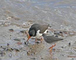 Oystercatcher and Redshank
