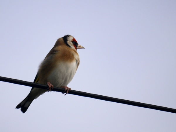 Holding on tight, a goldfinch on a wire. by DerekHollis