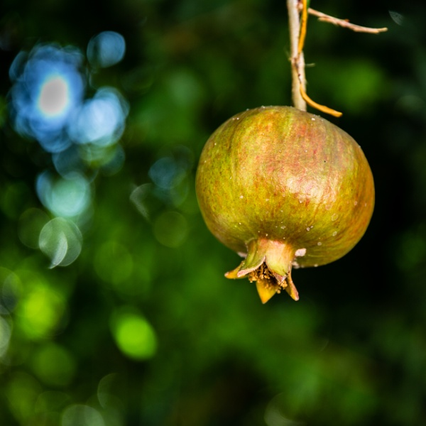 Pomegranate by rninov